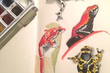 Sketch of dart frogs