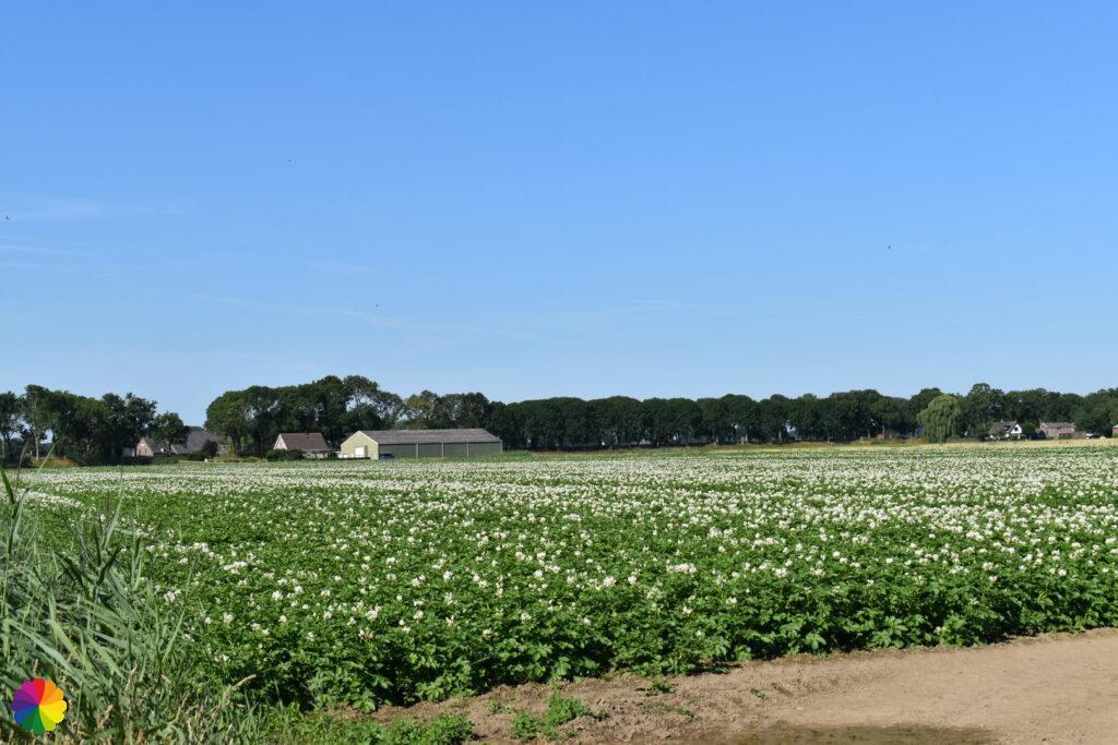 Potato fields at Albrandswaard