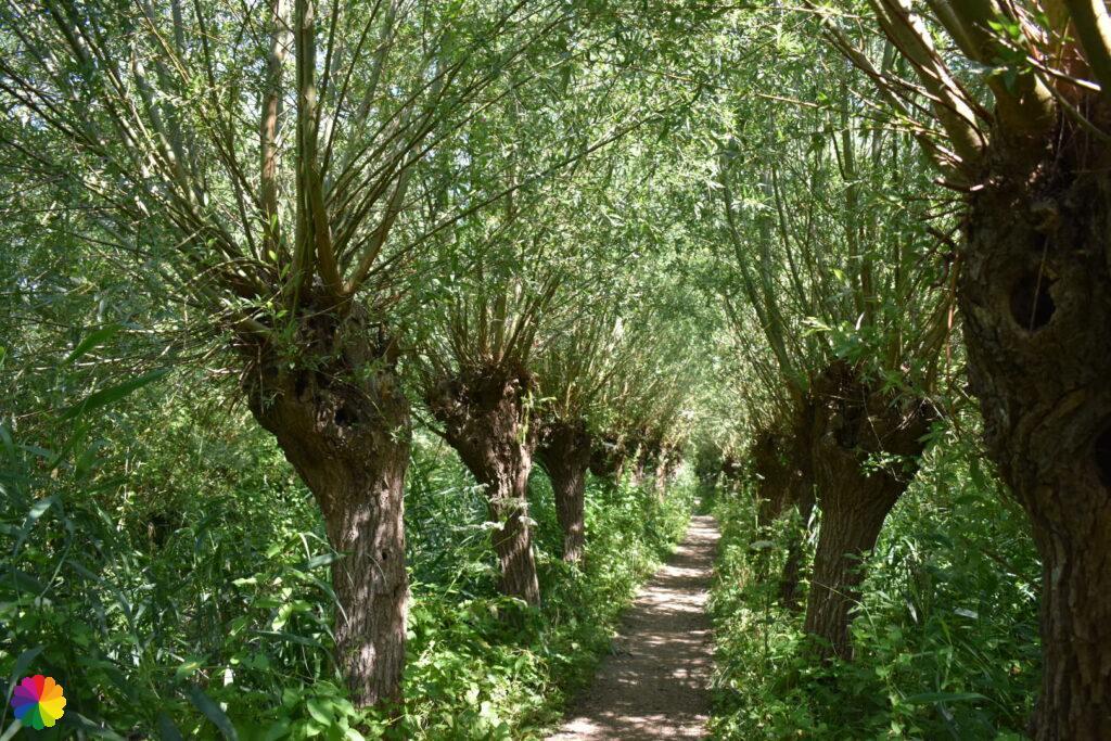 Pollard willows at Rhoonse Grienden