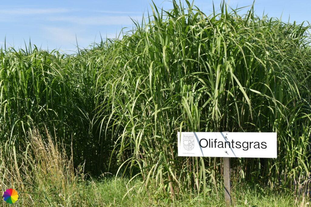 elephant grass fields at Albrandswaard