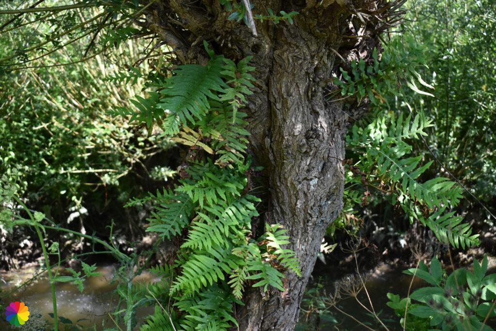 Pollard willow with fern