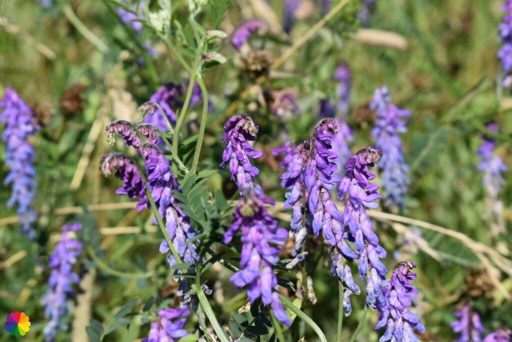 Wild flowers at Albrandswaard