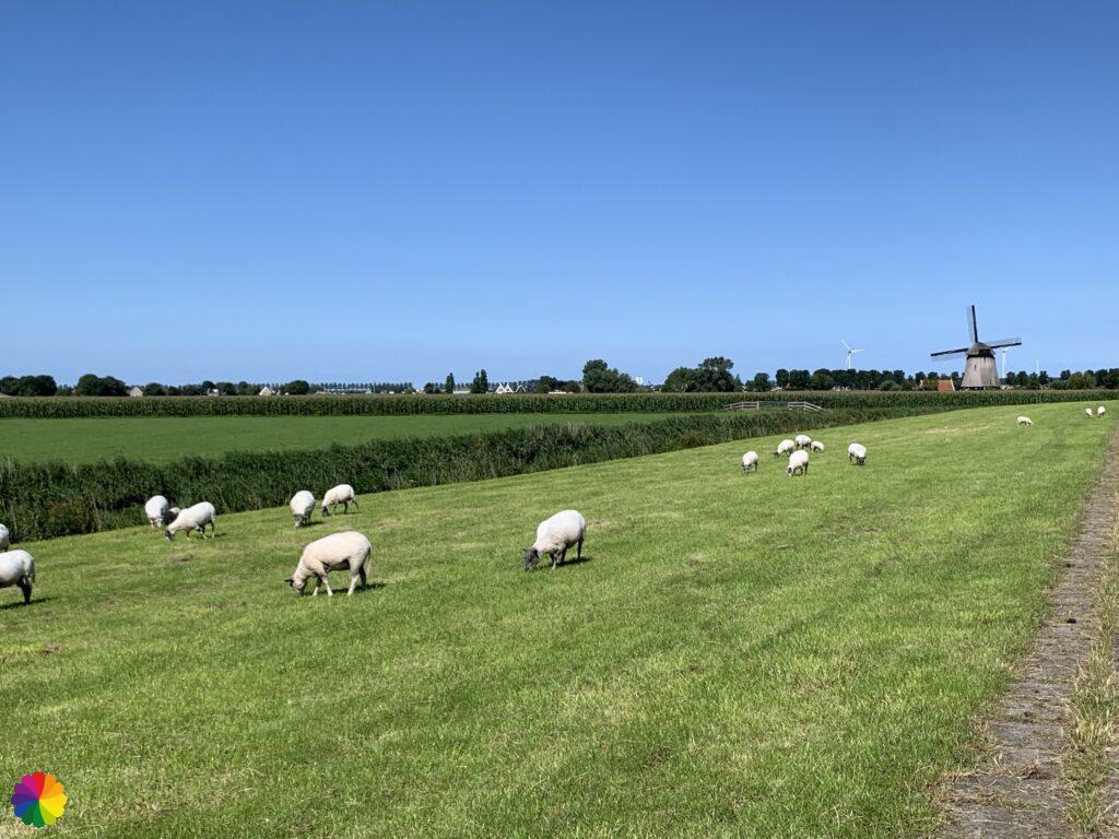 Dike with sheep at mill Strijkmolen K