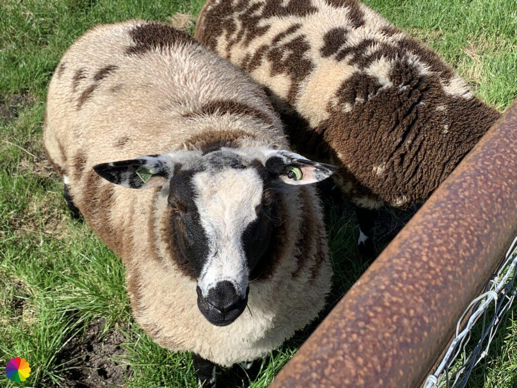 spotted sheep
