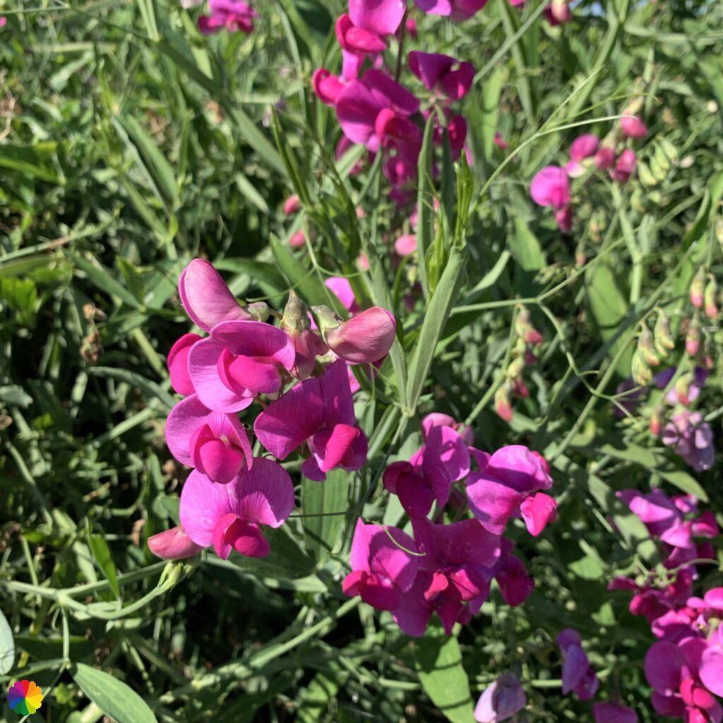 pink pea flower