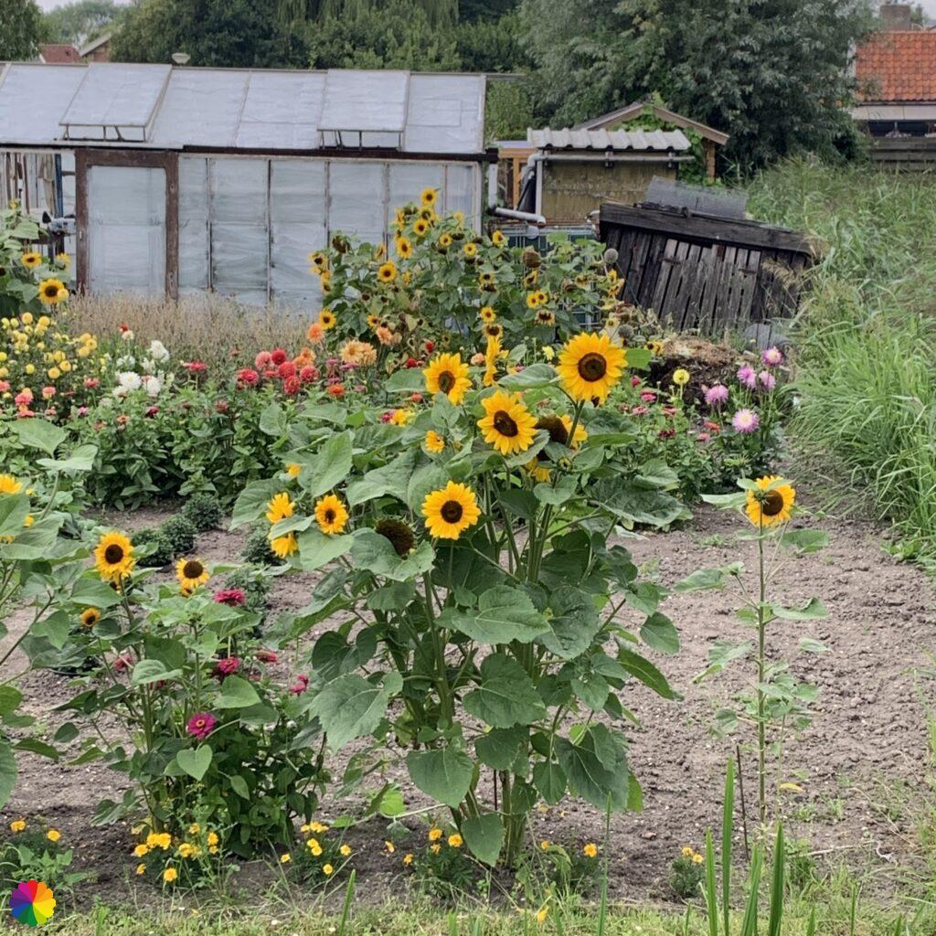 sunflowers at an allotment garden