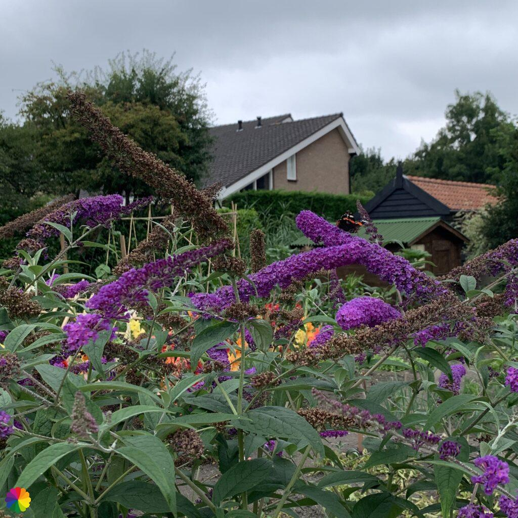 butterfly-bush with butterfly