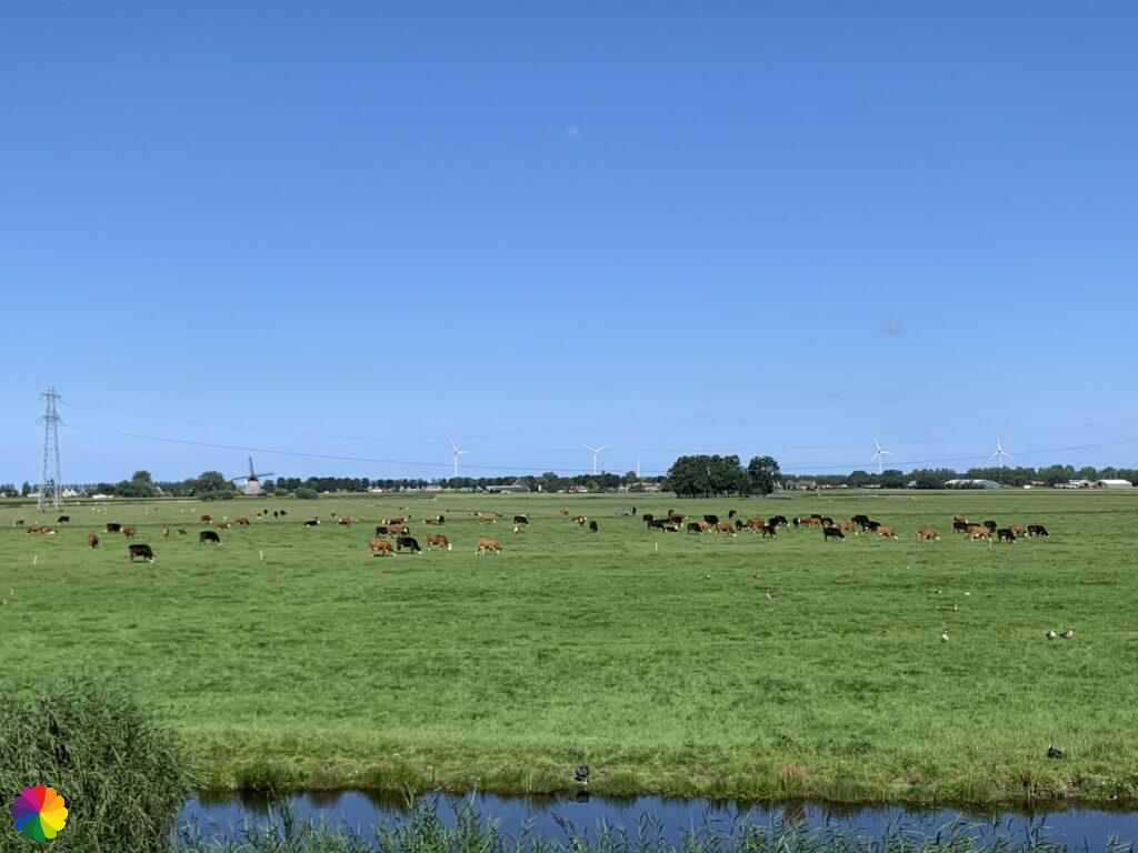 Black and brown cows in the field