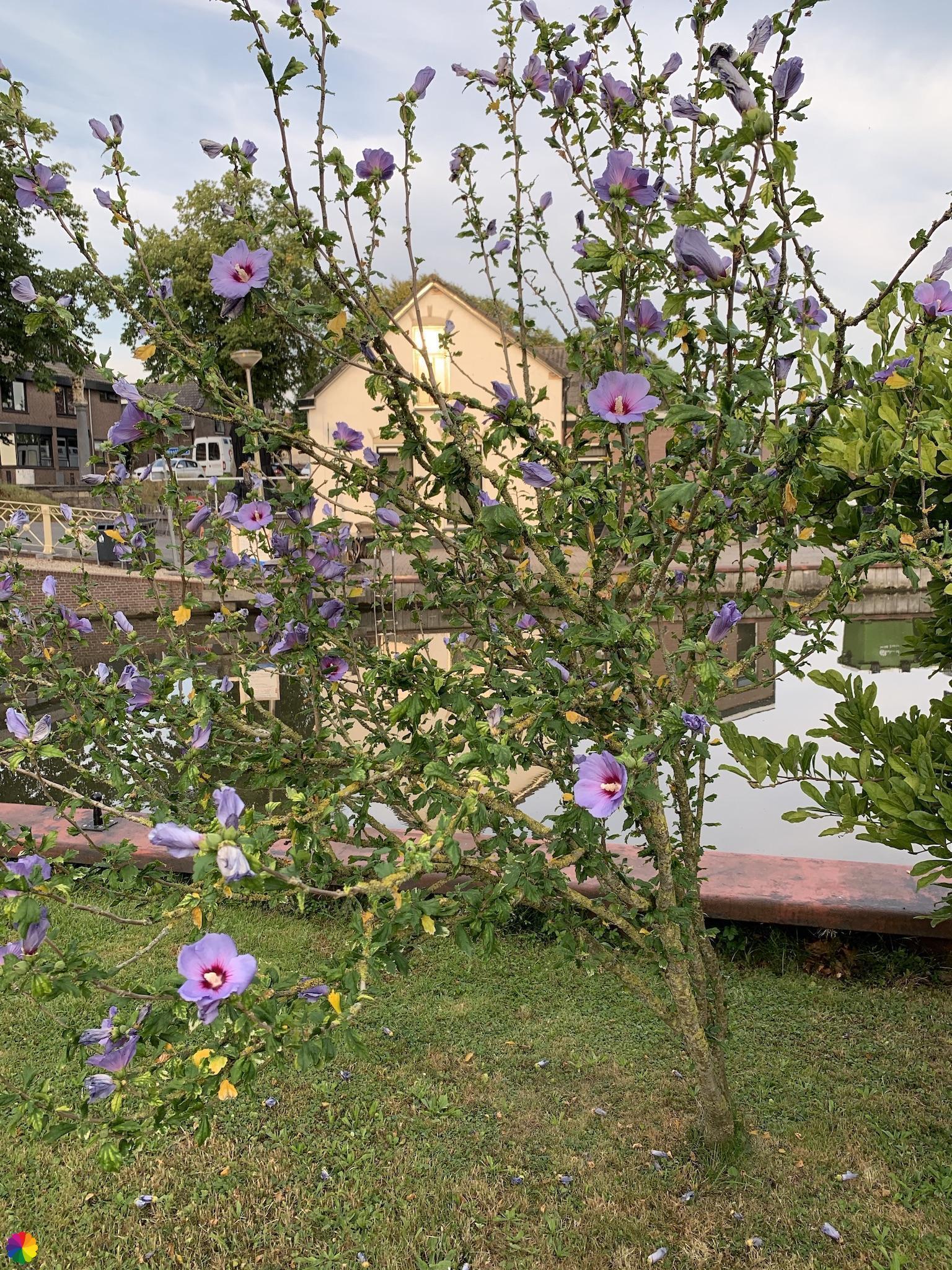 Prachtig bloeiende boom