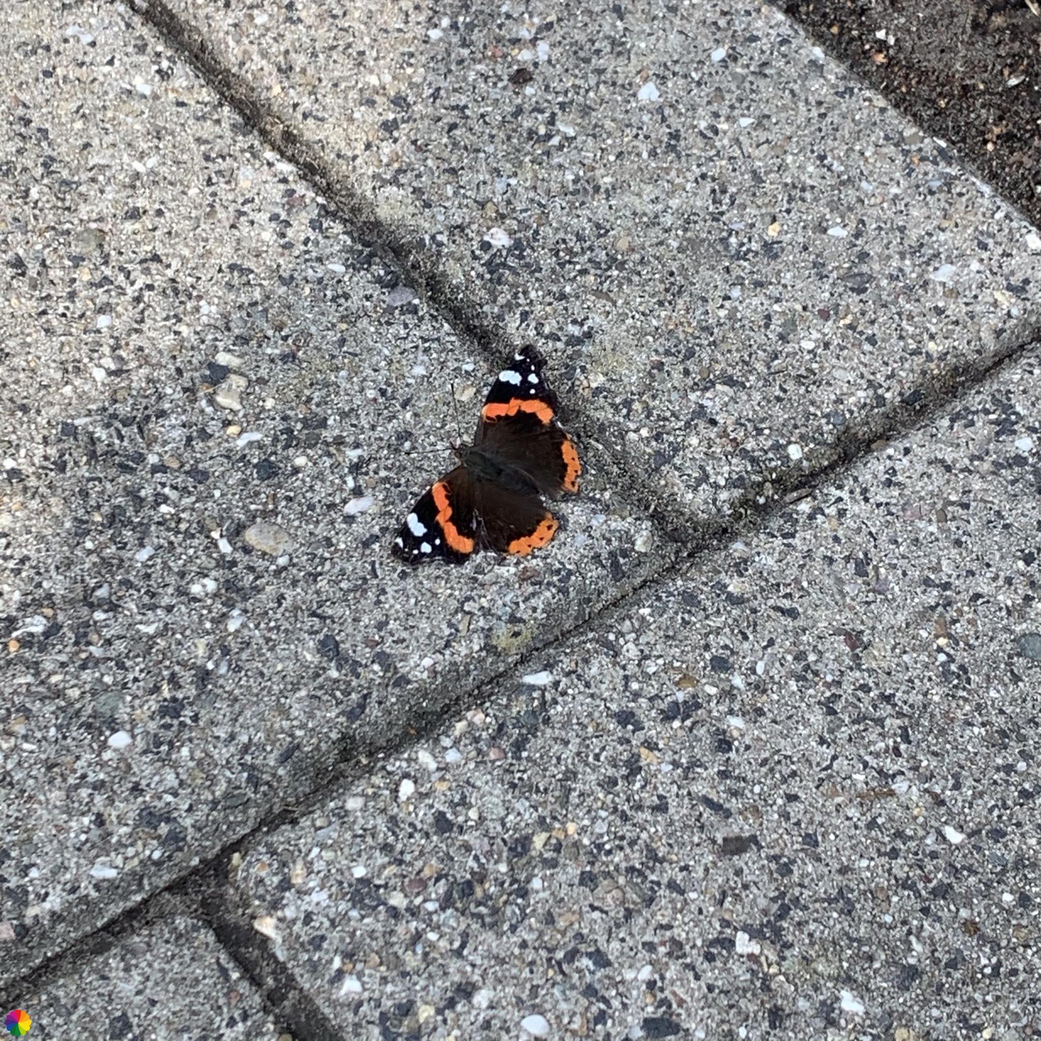 Atalanta vlinder op de warme stoeptegels
