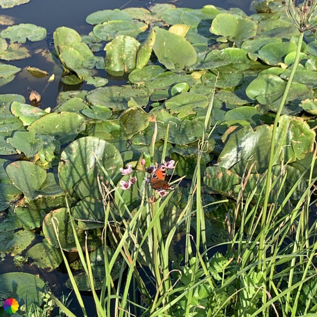 Peacock butterfly at Schaalsmeerpolder near Oostknollendam