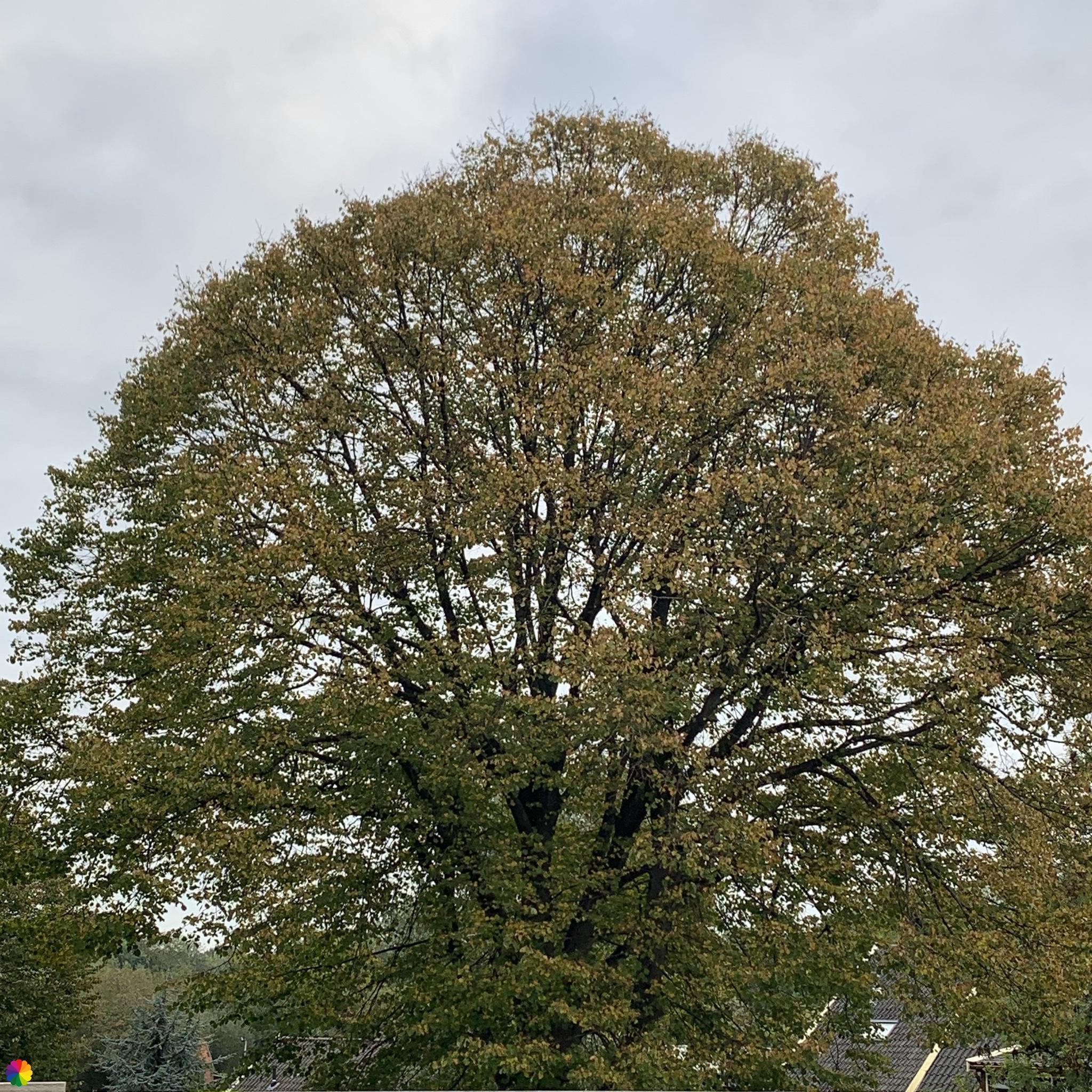 Deze boom begint te verkleuren