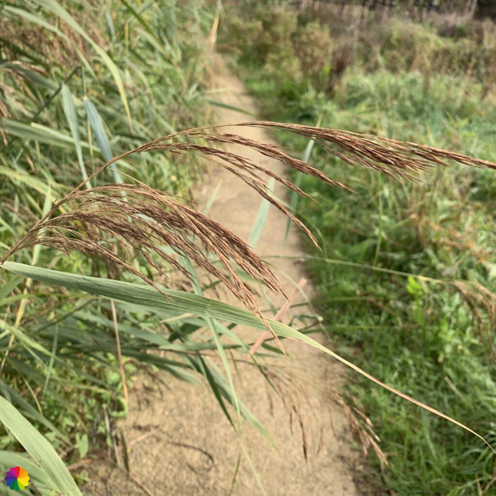 Reed plumes along the Waal path