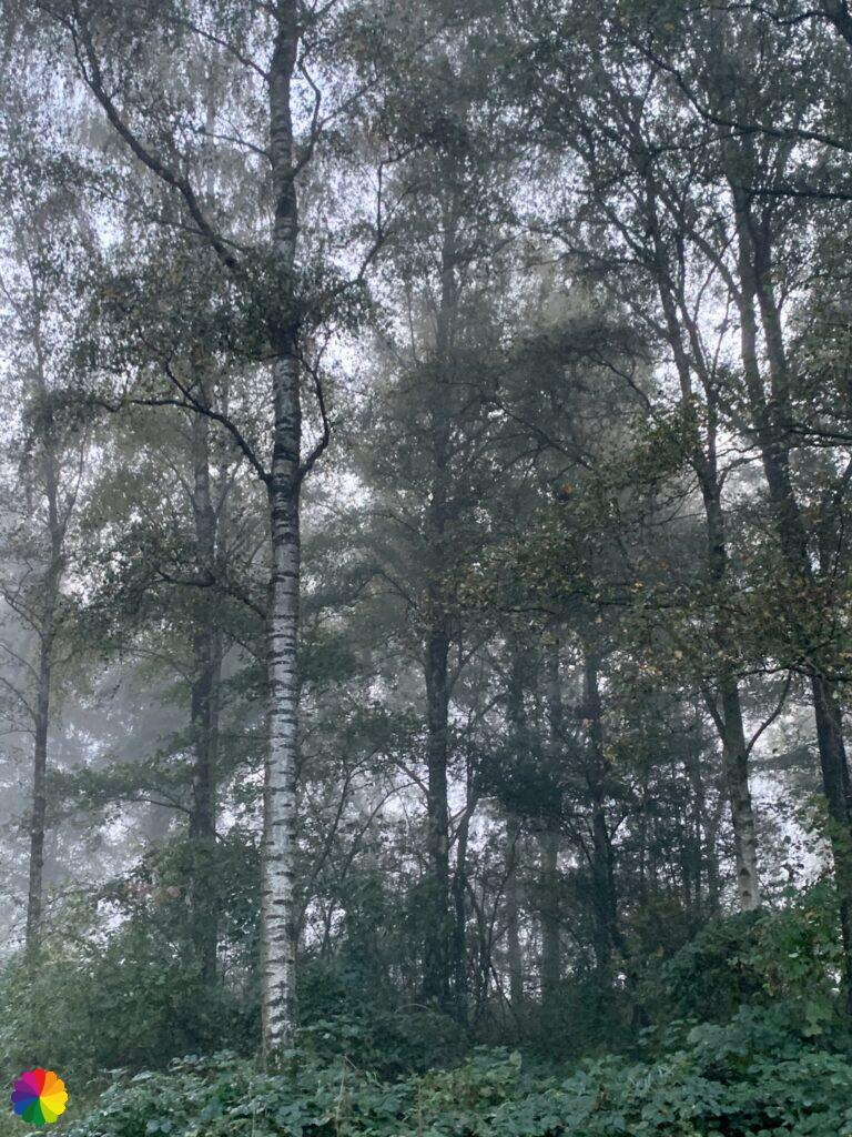 A birch in the Loet woodlands