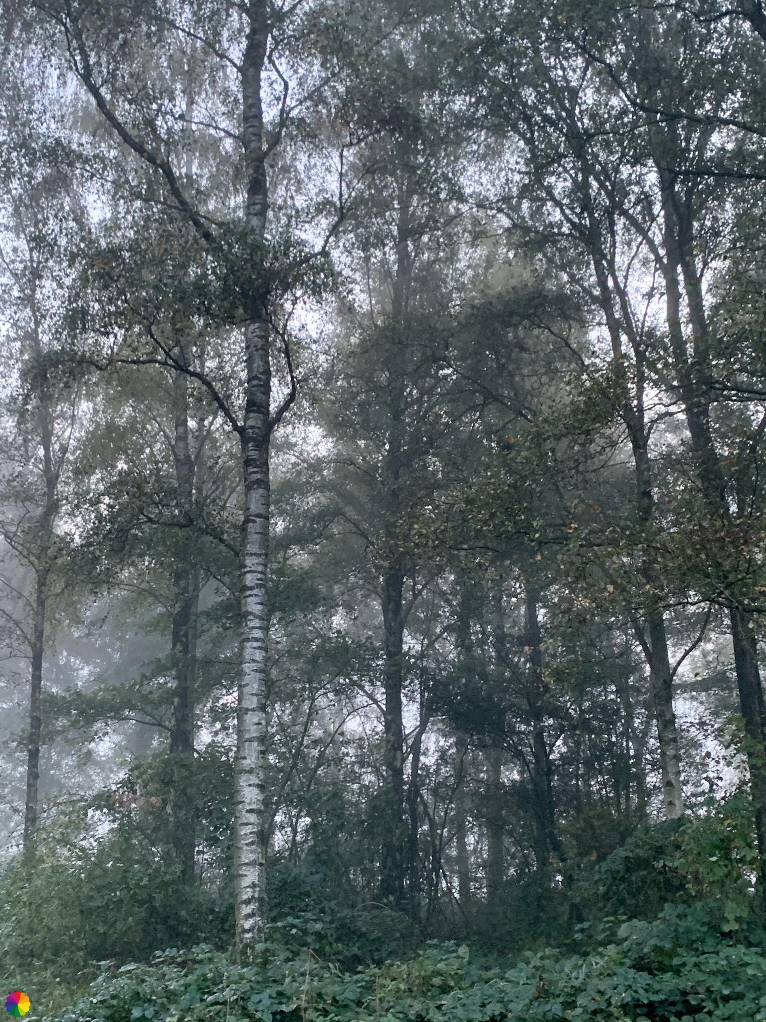 Een berk in het Loetbos