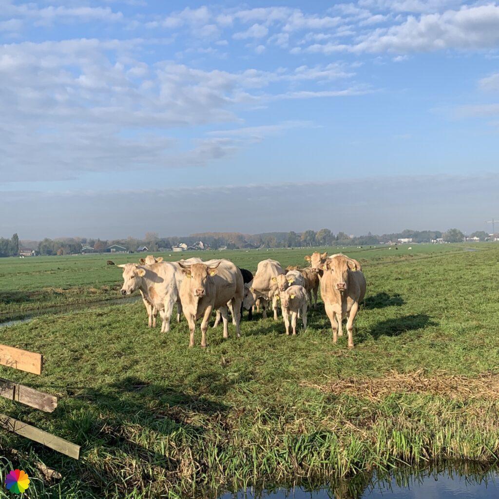 Cream coloured cows in the field