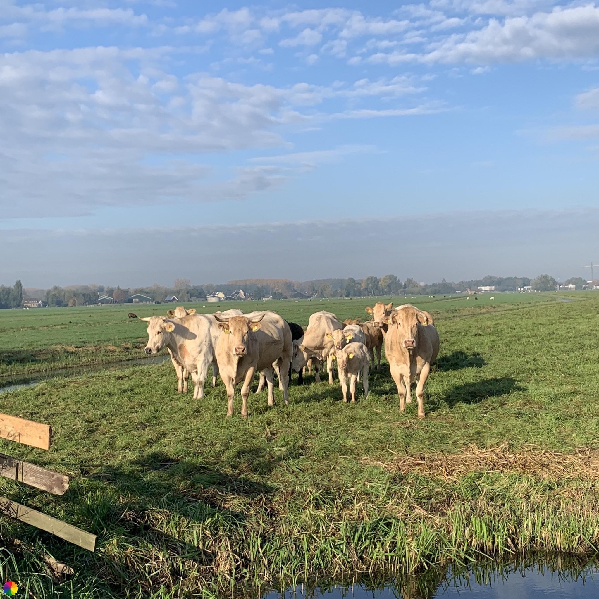 Witte koeien in de wei