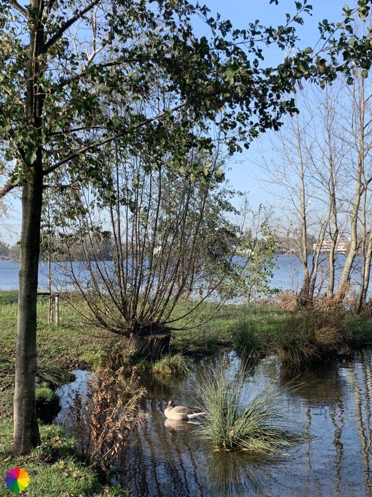 A goose in the Bergse Voorplas