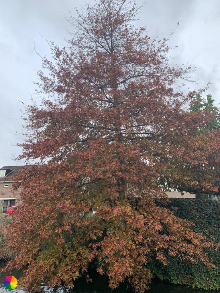 Autumnal tree at Nieuwerkerk aan den IJssel