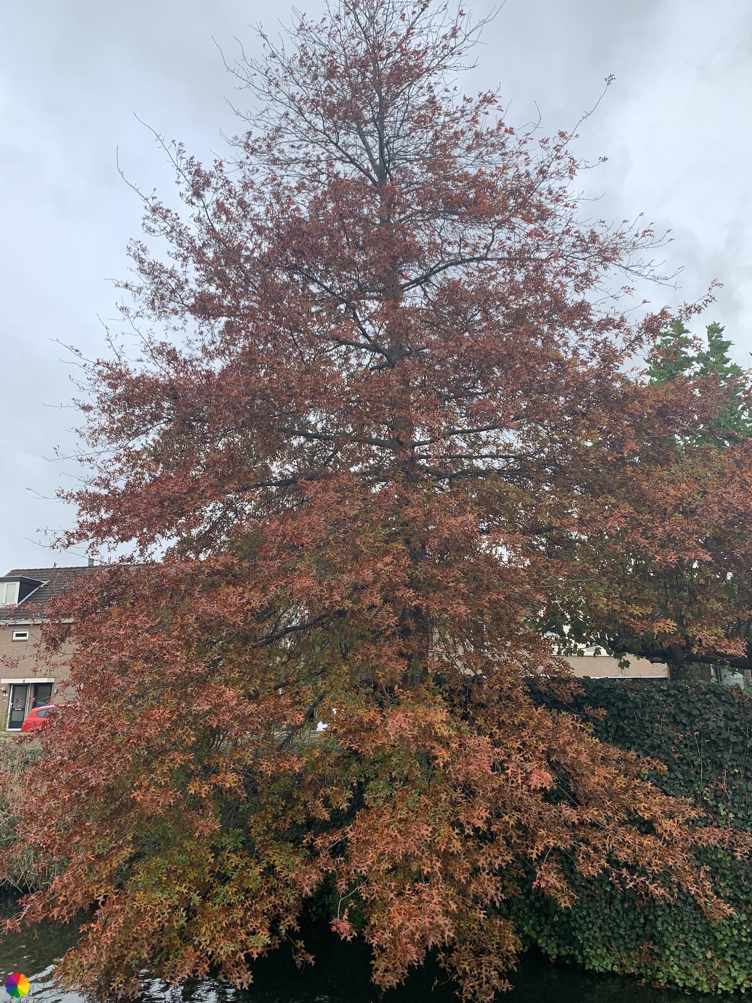 Herfstige boom in Nieuwerkerk aan den IJssel