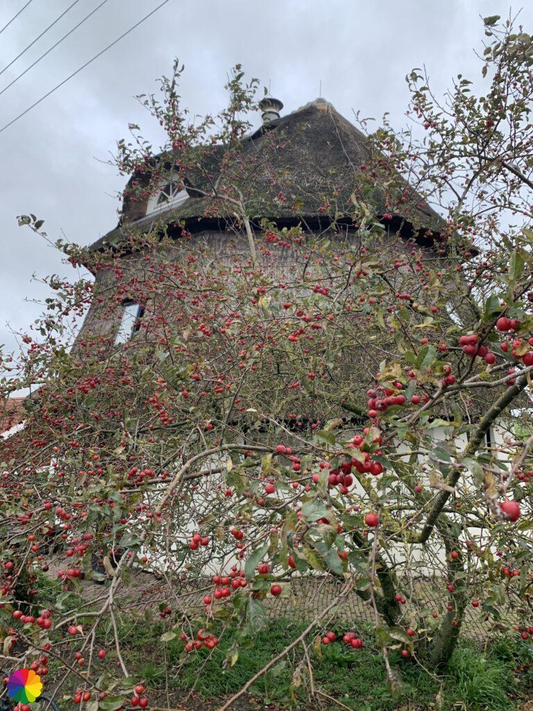 Windmill turned into a house, between the apple branches