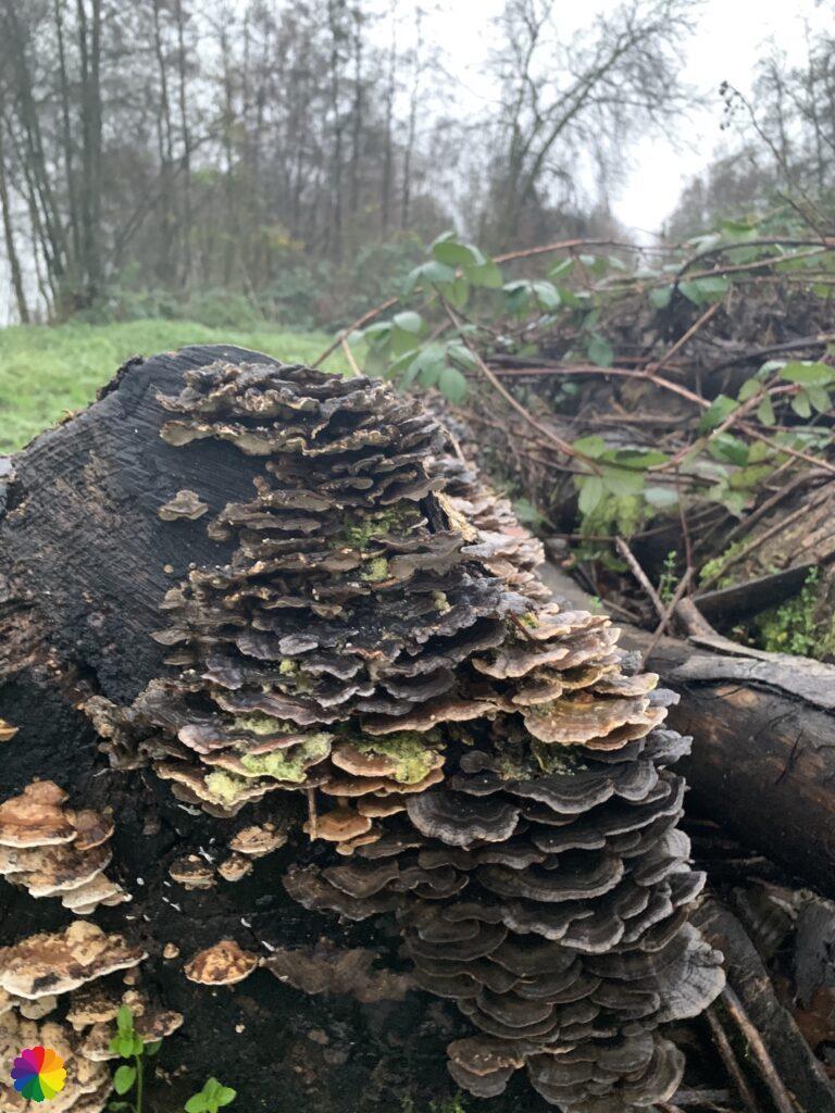 Veel elfenbankjes op een boomstam