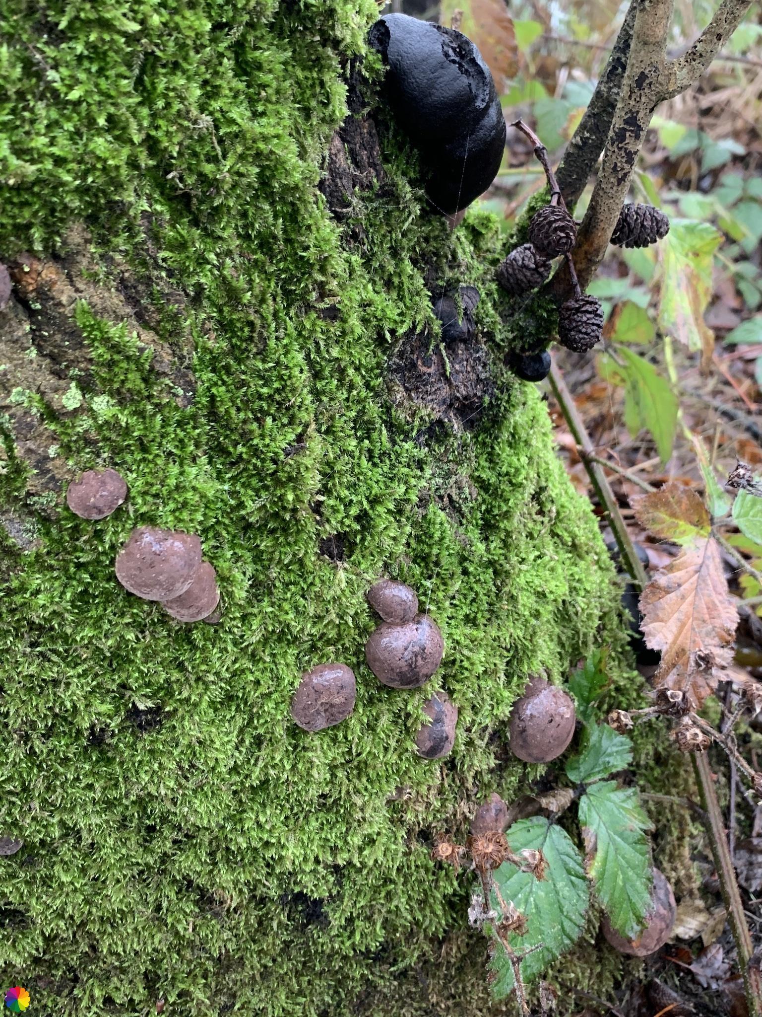 Donderbruine paddenstoel op boomstam