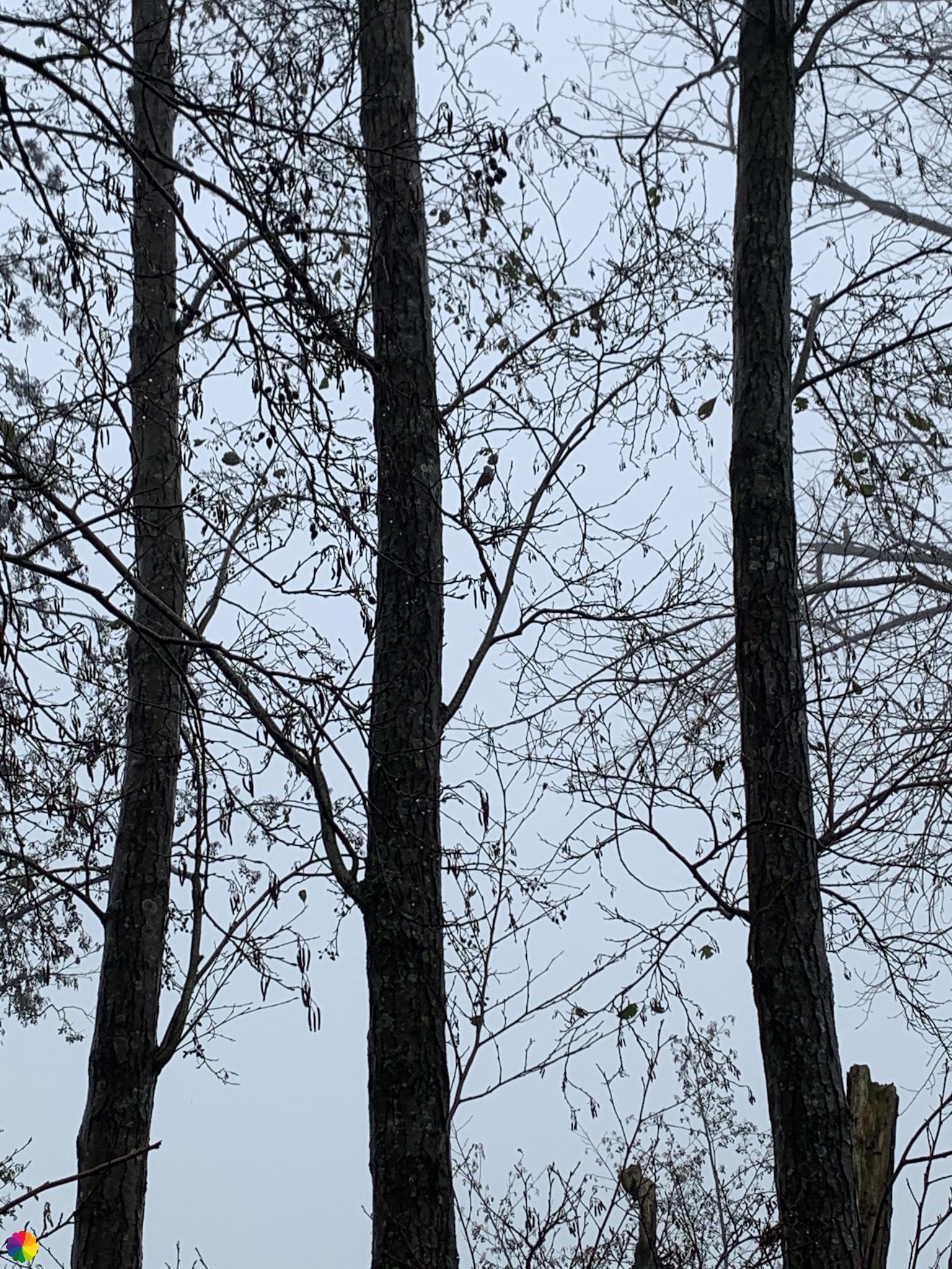 Staartmeesje in de boom