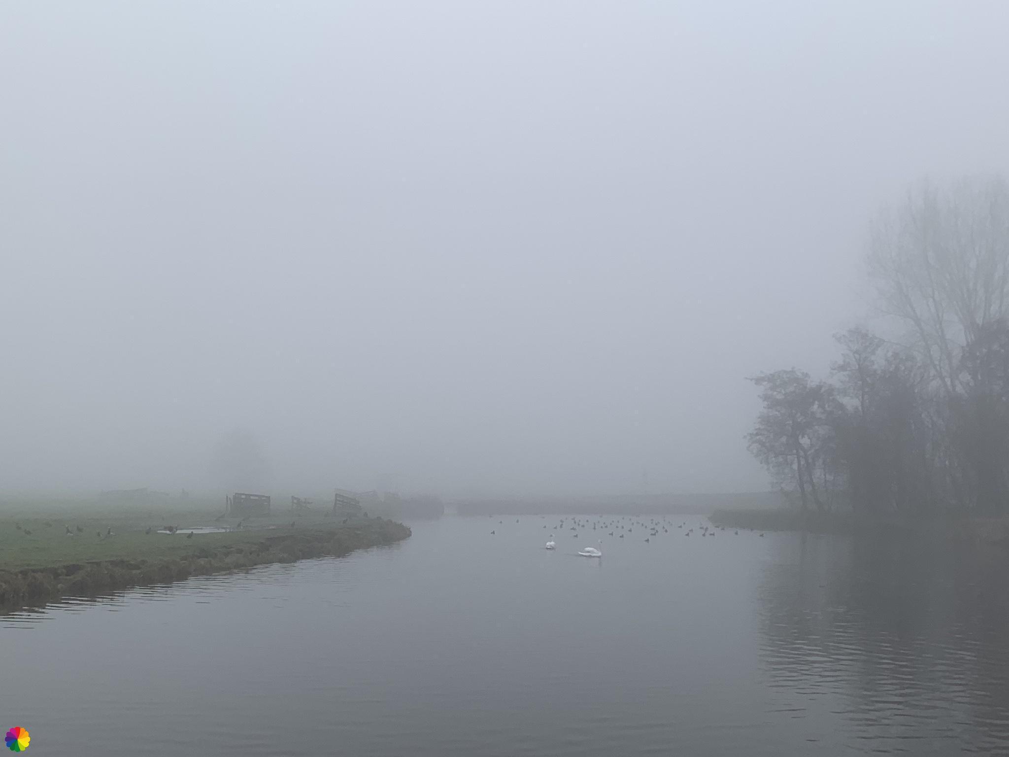 Zwanen en watervogels in de mist
